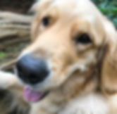 Hearts and Hounds   Accredited Dog Training in Vancouver, BC   Golden Retriever close up and content