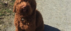 Hearts and Hounds   Accredited Dog Training in Vancouver, BC   Labradoodle, Sugo