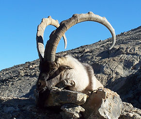 Chasse a l'Ibex