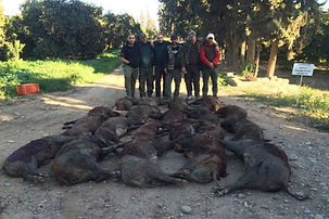Chasse aux sangliers