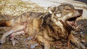 Chasse aux loups en Biélorussie