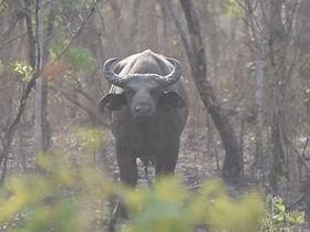 Safari buffle Tchad