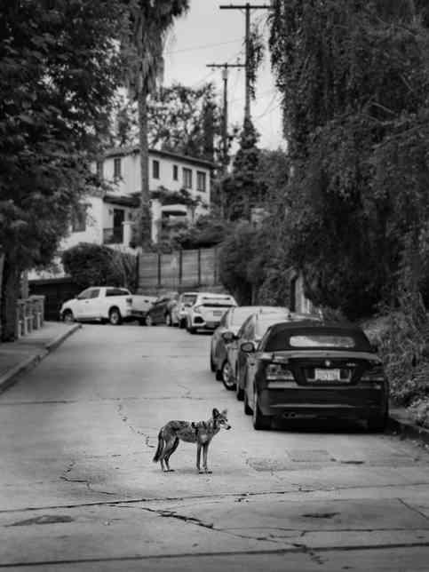 Coyotes-7491.jpg