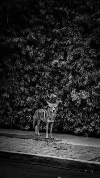 Coyotes-7506.jpg