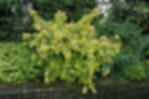 forsythia gold leaf.jpg