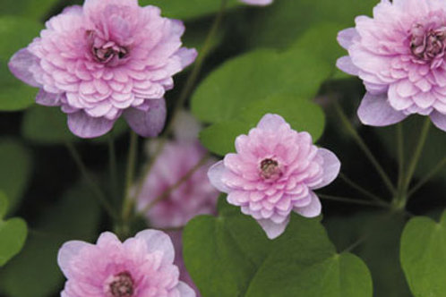 Anemonella thal. 'Shoaf's Double Pink'