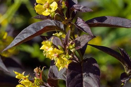 Lysmachia atropurpurea 'Geronimo'