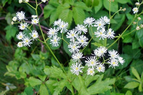 Trautvetteria c. var. japonica