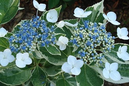 Hydrangea mac. 'Maculata'