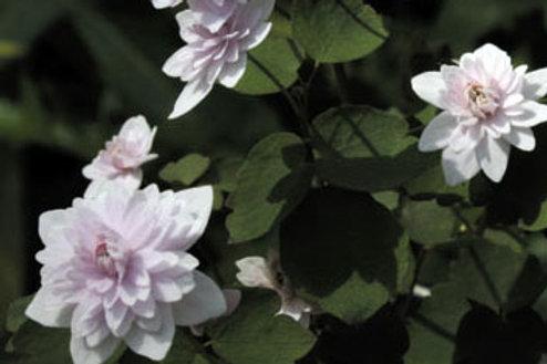 Anemonella thal. 'Kikuzaki White'