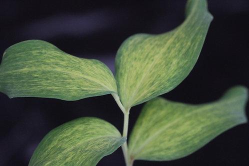 Polygonatum odoratum 'Dai Kouga'