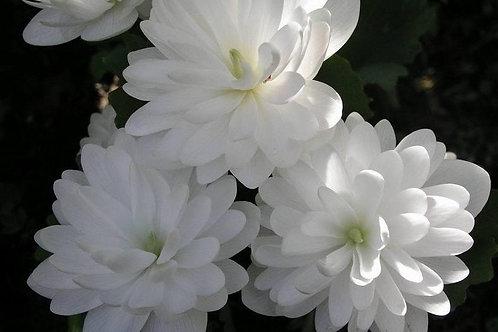 Sanguinaria c .'Flore Pleno'
