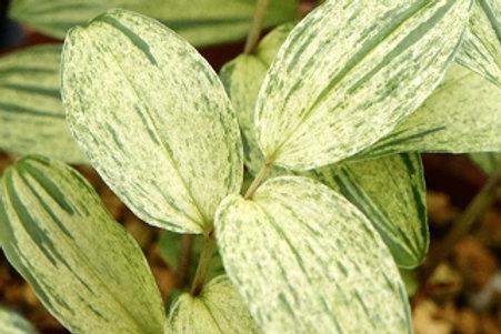 Disporum smilacinum 'Gin Sekai' (2) (6) (8)