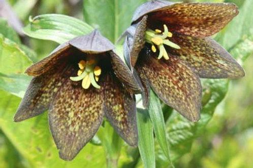 Fritillaria camschatcensis