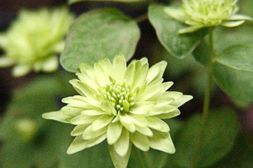 Anemonella thal. 'Double Green'