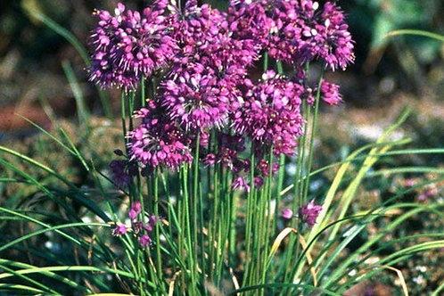 Allium splendens kurilense