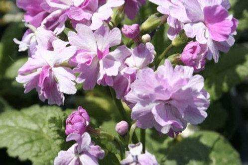 Primula sieboldii 'Koharu Biyori'