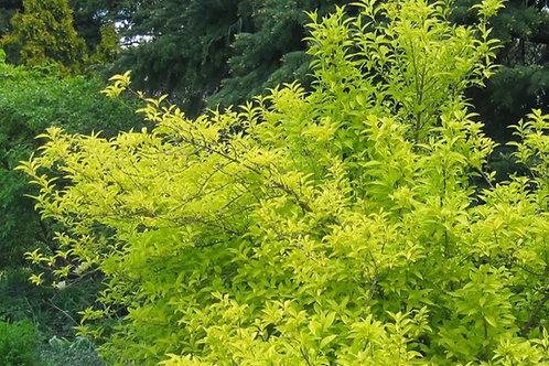 Forsythia x intermedia 'Gold Leaf'