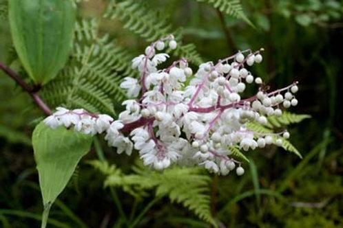 Smilacina oleracea