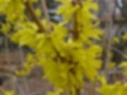 Forsythia mandshurica 'Vermont Sun' flcl