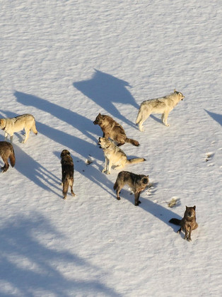 IN COLORADO, WOLVES ARE ON THE BALLOT