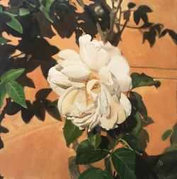 """Rosa antica bianca, fondo Siena"""