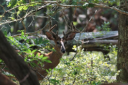 A hungry male deer watching a CW Arborist on a property in the Hamptons - NY