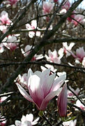 Magnolia flowers blooming after fertilization by CW Arborists