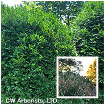 Boxwood Blight Healthy Boxwood