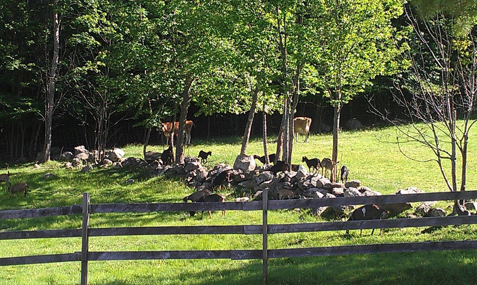 Goats in the Pasture.jpg