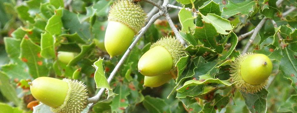 Quercus coccifera (5 seeds)