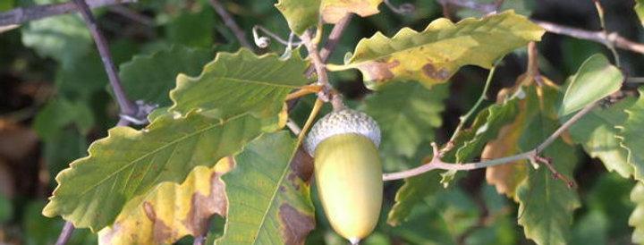 Quercus infectoria subsp. veneris (5 seeds)