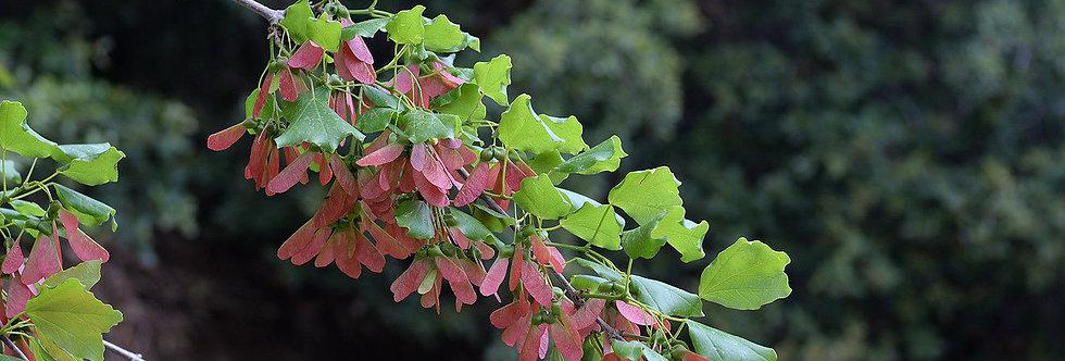 Acer obtusifolium (5 seeds)