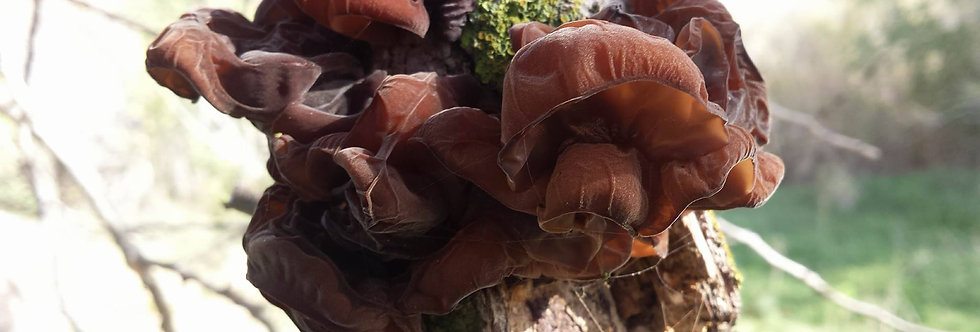 Dry Wild Wood Ear Mushrooms (Auricularia auricula-judae) 50gr.