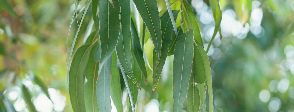 Wildcrafted Eucalyptus essential oil 10ml (Eucalyptus globulus)