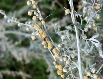 Wild Wormwood (Artemisia Absinthium) 20gr.