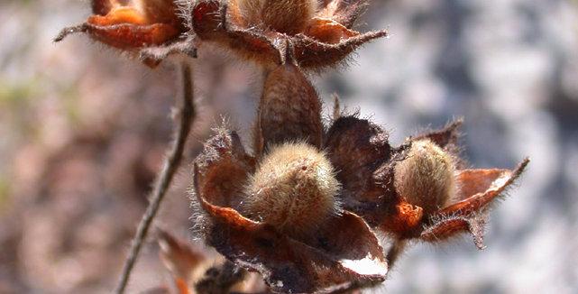 Wild Cistus Incanus Seeds