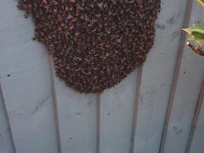 A swarm on a fence