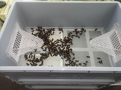 trap full of asian hornets