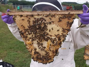 Top bar hive comb in Rowde