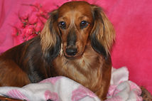 Long Haired Miniature Dachshund - Kazandi