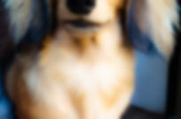 Long Haired Miniature Dachshund puppy - Kazandi
