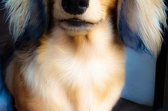 Long Haired Miniature Dachshund puppy - Kazandi