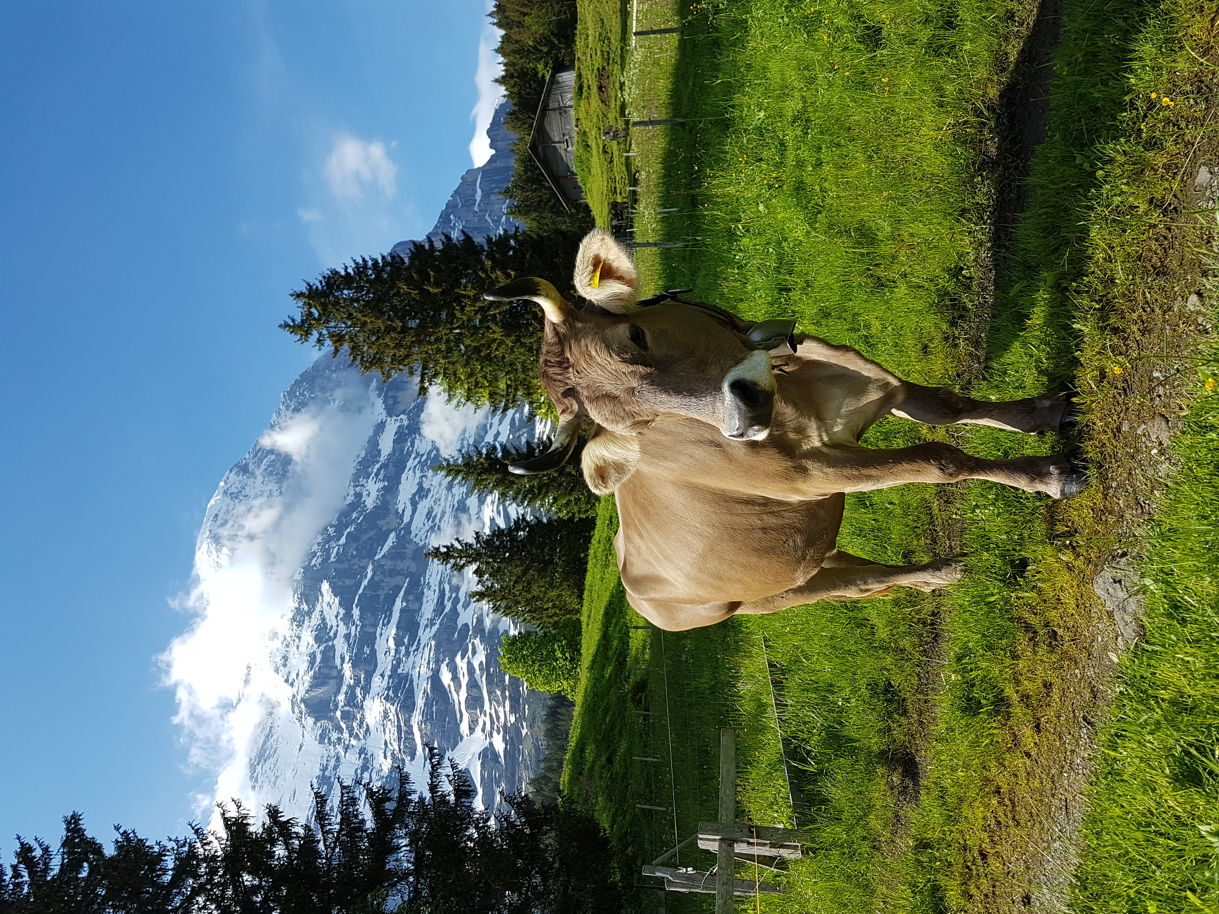 Kuh in Grindelwald