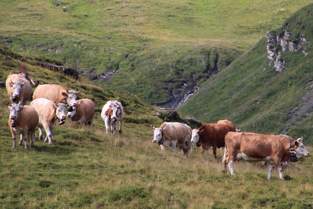 Kühe auf Alp