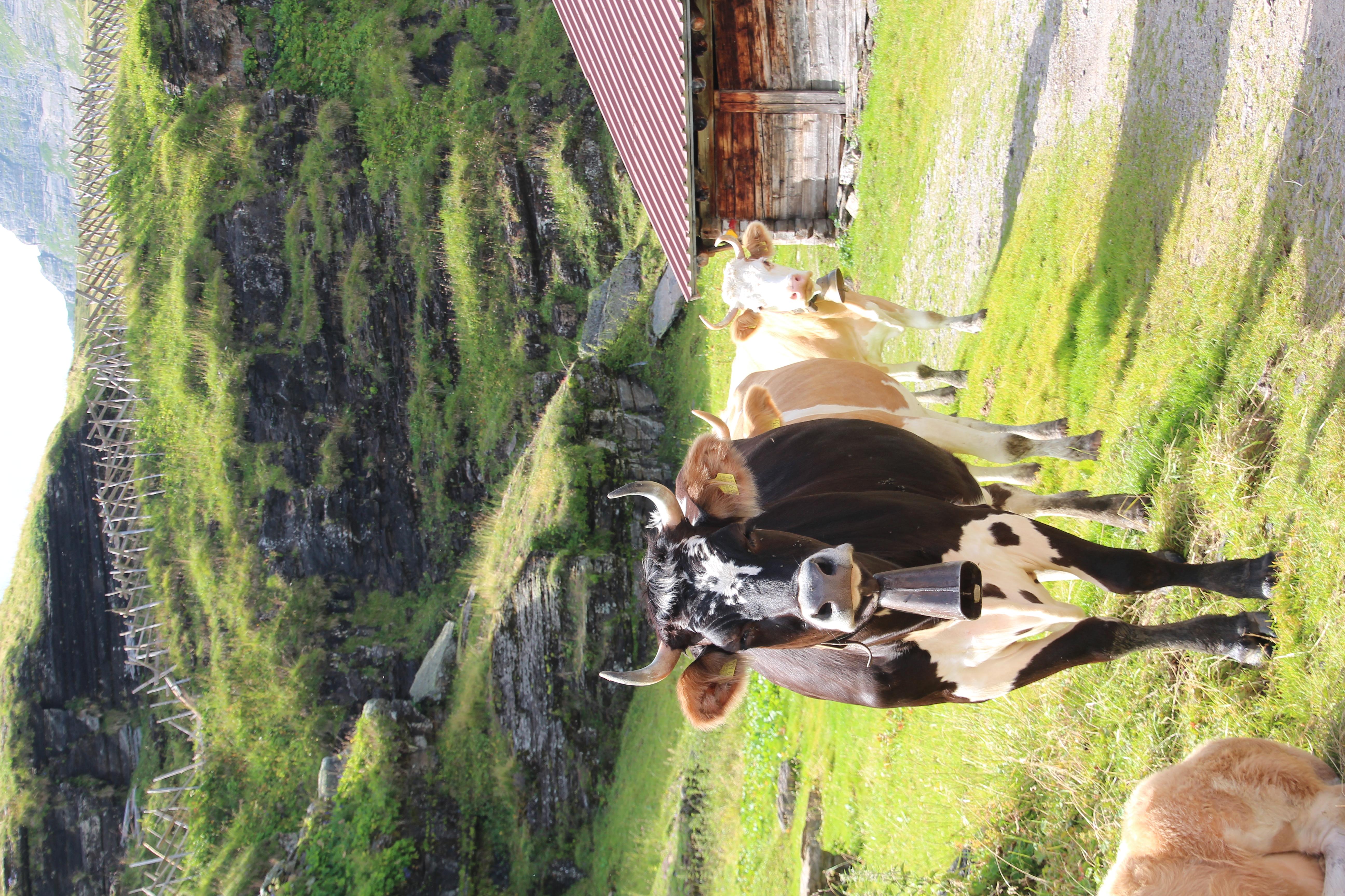 Rinder auf Alp