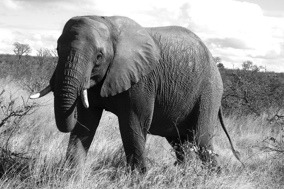 An_elephant_in_Kruger_National_Park_edited.jpg