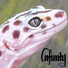 infinity geckos.jpg