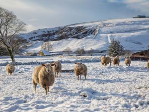 Houd je schapen in conditie met krachtvoer.