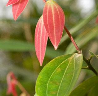 Aceite Esencial de Canela/ Cinnamon Leaf